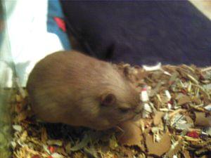 Gerbil - A Burmese colored gerbil