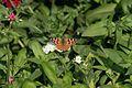 Butterfly - Humayun's Tomb - Delhi (390705616).jpg