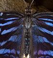 Butterfly 11s (5663024972).jpg