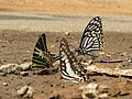Butterfly mud-puddling at Kottiyoor Wildlife Sanctuary (16).jpg