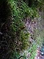 Buxbaumia viridis IMG 5864.jpg