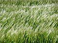 CSIRO ScienceImage 11381 Barley crop.jpg
