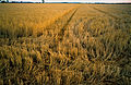CSIRO ScienceImage 4277 Wheat stubble near Ardlethan NSW.jpg