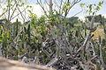 Cacus plant on rocks 02.JPG