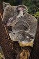 Cairns Koala-1 (8258420827).jpg