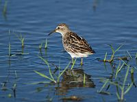 Calidris subminuta PA021274