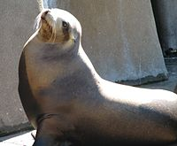 California Sea Lion 001.jpg