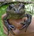 California red-legged frog (33447225701).jpg