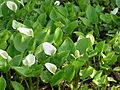 Calla palustris2.jpg