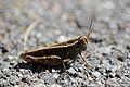 Calliptamus italicus.jpg