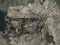 Calophasia lunula - Toadflax brocade - Короткокрылая совка бурая (41055576192).jpg