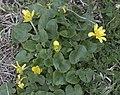 Caltha palustris - Marsh marigold 01.jpg