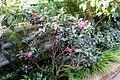 Camellia sasanqua 'Crimson King' - Wilhelma Zoo - Stuttgart, Germany - DSC01887.jpg