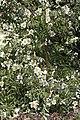 Camellia yunnensis CFGa933.jpg