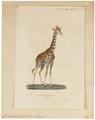 Camelopardalis giraffa - 1700-1880 - Print - Iconographia Zoologica - Special Collections University of Amsterdam - UBA01 IZ21600129.tif