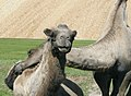 Camels about - panoramio.jpg