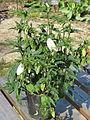 Campanula punctata kurokawae (14168692245).jpg