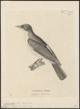 Campephaga bicolor - 1700-1880 - Print - Iconographia Zoologica - Special Collections University of Amsterdam - UBA01 IZ16500409.tif