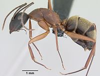 Camponotus aurosus casent0064815 profile 1.jpg