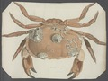 Cancer pagurus - - Print - Iconographia Zoologica - Special Collections University of Amsterdam - UBAINV0274 094 15 0004.tif