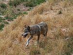 Canis lupus Parc des Loups 003.jpg