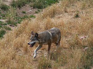 Loup Gris En France Wikipedia