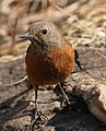 Cape Rock Thrush, Monticola rupestris at Walter Sisulu National Botanical Garden, Johannesburg, South Africa (female) (18986997614).jpg