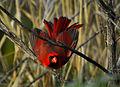 Cardinalis cardinalis - Andrea Westmoreland (24).jpg