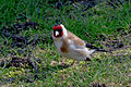 Carduelis carduelis,Lodz(Poland)04(js).jpg
