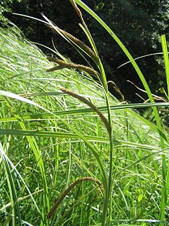 <i>Carex acuta</i> species of plant