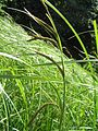 Carex acuta1.JPG