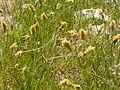 Carex douglasii (3877807926).jpg