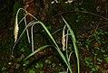 Carex pendula inflorescens (22).jpg
