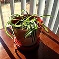 Carex pendula plant (2).jpg