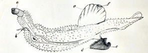 Carinaria lamarcki. A Guide to the shell and starfish galleries of the British Museum, London 1901, S. 22.