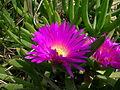 Carpobrotus glaucescens flower4 (8418460200).jpg