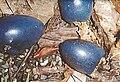 Cassowary-plums.jpg