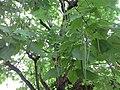 Catalpa5 木豆树.jpg