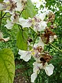 Catalpa speciosa 03 by Line1.jpg