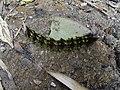 Caterpillar in the Hoàng Liên Sơn mountains.jpg