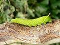 Caterpillar of the Poplar Hawk moth - Laothoe populi - geograph.org.uk - 1184964.jpg