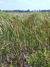 A color photograph of cattails growing in the Everglades