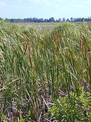 Restoration of the Everglades - Cattails indicate the presence of phosphorus in the water. Cattails are an invasive species; they crowd out sawgrass and grow too thick for birds or alligators to nest in.