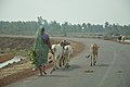 Cattlewoman with Cows - Dadanpatrabarh - Chaulkhola-Mandarmani Road - East Midnapore 2015-05-02 8989.JPG