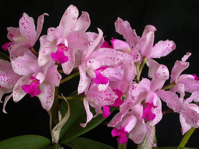 File:Cattleya amethystoglossa.jpg