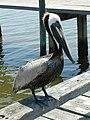 Cedar Key - Mon Pelican.jpg