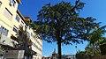 Cedro del Libano, Salita Pontecorvo 72, Napoli (quinta foto).jpg