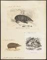 Centetes ecaudatus - 1700-1880 - Print - Iconographia Zoologica - Special Collections University of Amsterdam - UBA01 IZ20900031.tif