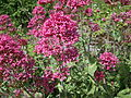 Centranthus ruber or Red Valerian at the old Ayr Citadel.JPG