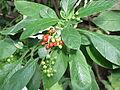 Cephaelis acuminata5.jpg